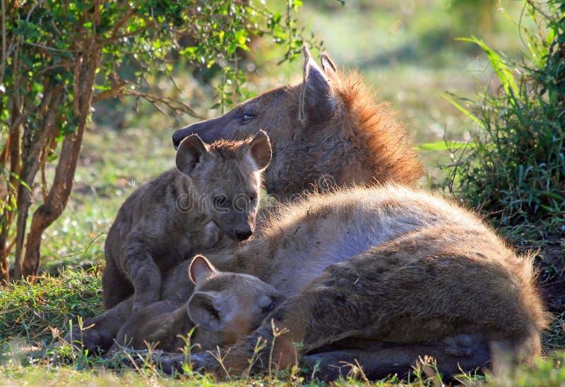 被察觉的鬣狗和她的小狗在灌木 免版税库存照片