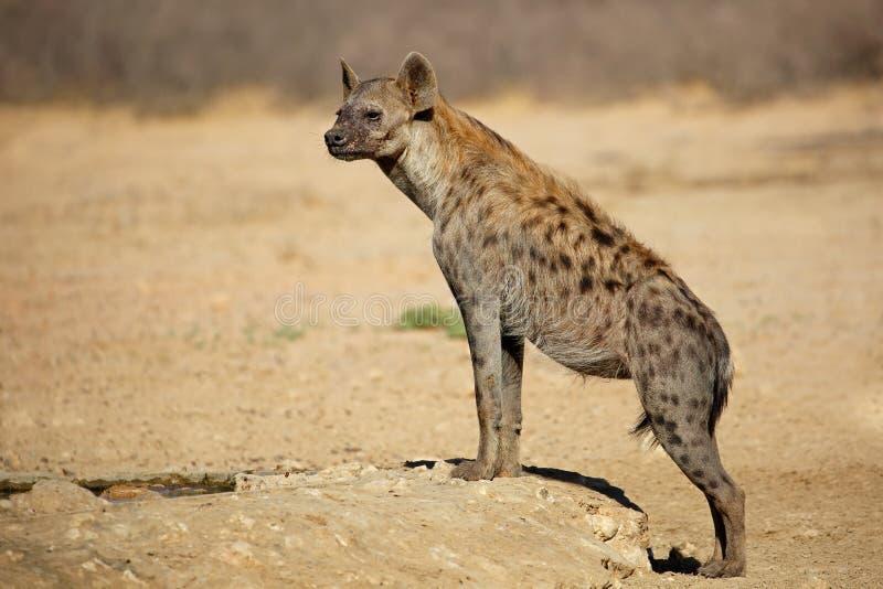 被察觉的鬣狗在自然生态环境 库存图片