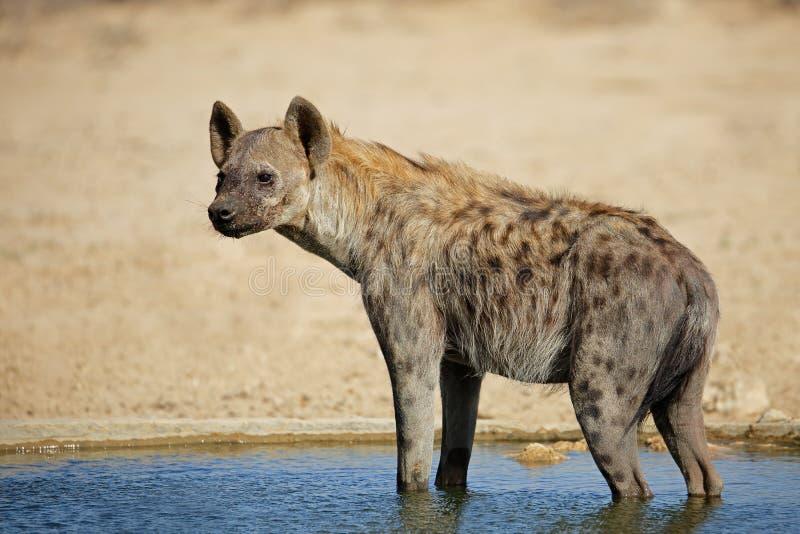 被察觉的鬣狗在水中 免版税库存照片