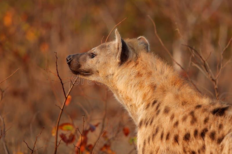 被察觉的鬣狗纵向 库存照片