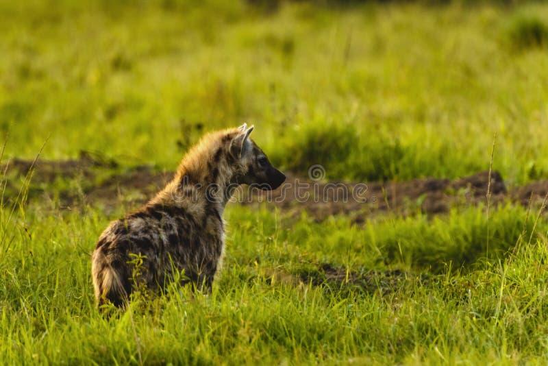 被察觉的鬣狗,斑鬣狗斑鬣狗,站立在绿草lookin 库存图片