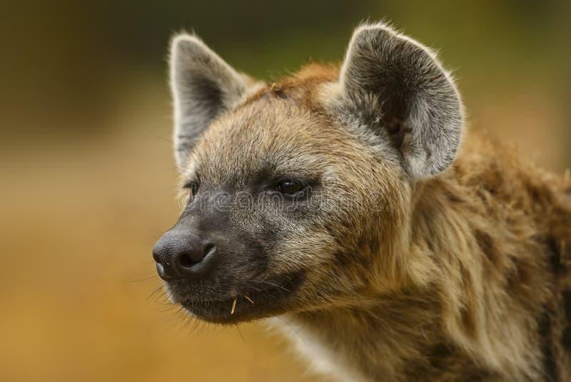被察觉的鬣狗,斑鬣狗斑鬣狗-画象 免版税图库摄影
