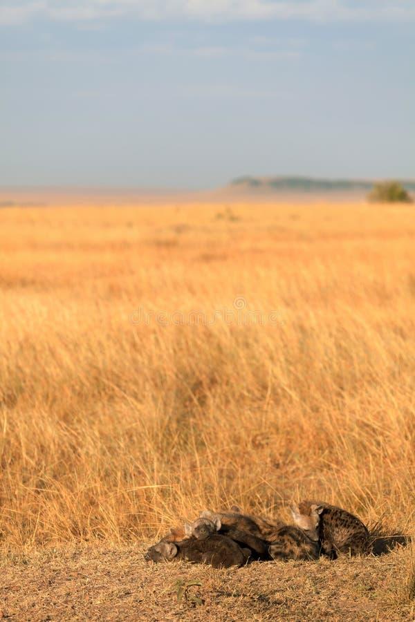 被察觉的鬣狗,马塞语玛拉 库存照片