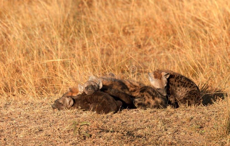 被察觉的鬣狗,马塞语玛拉 免版税库存照片