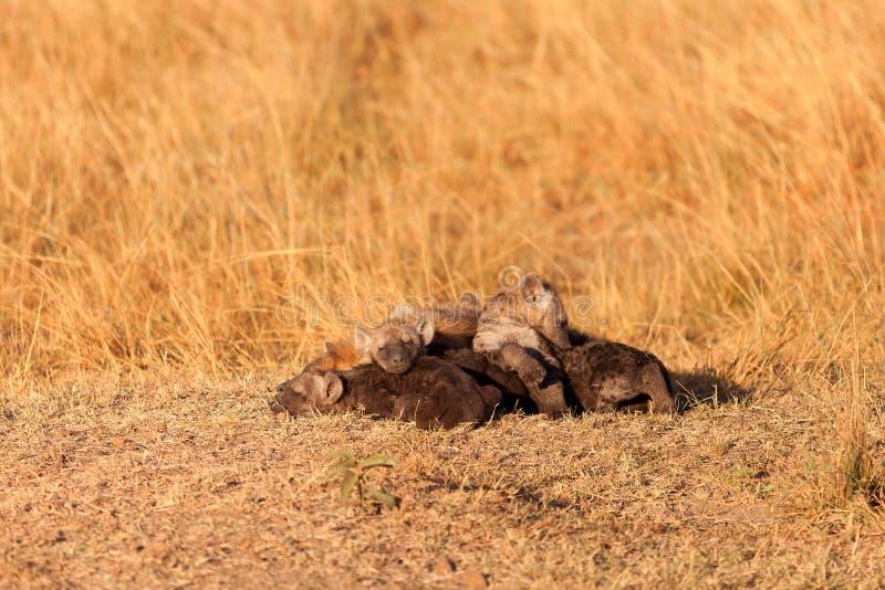 被察觉的鬣狗,马塞语玛拉 免版税图库摄影