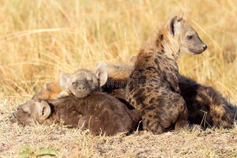 被察觉的鬣狗,马塞语玛拉 图库摄影