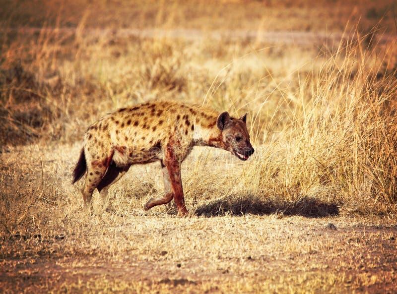 Download 被察觉的鬣狗 库存图片. 图片 包括有 黄色, 通配, 题头, 血淋淋的, 敌意, 的闪烁, 危险, 食肉动物 - 30333227