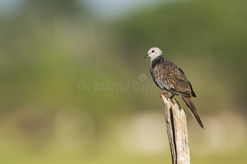 Download 被察觉的鸠在Arugam海湾盐水湖,斯里兰卡 库存照片. 图片 包括有 察觉, 印度, 敌意, 硬币, 双翼飞机 - 59104216