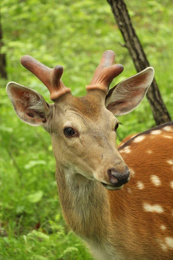 被察觉的鹿在一个绿色森林里 图库摄影
