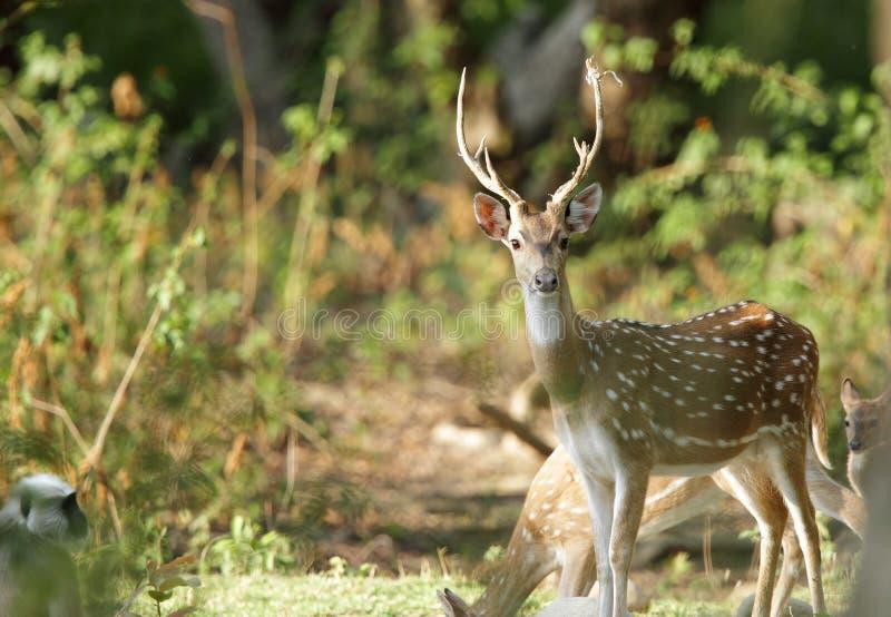被察觉的鹿在Bijrani森林里 免版税库存图片