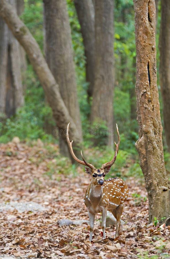 被察觉的鹿男性雄鹿画象在森林里 库存照片