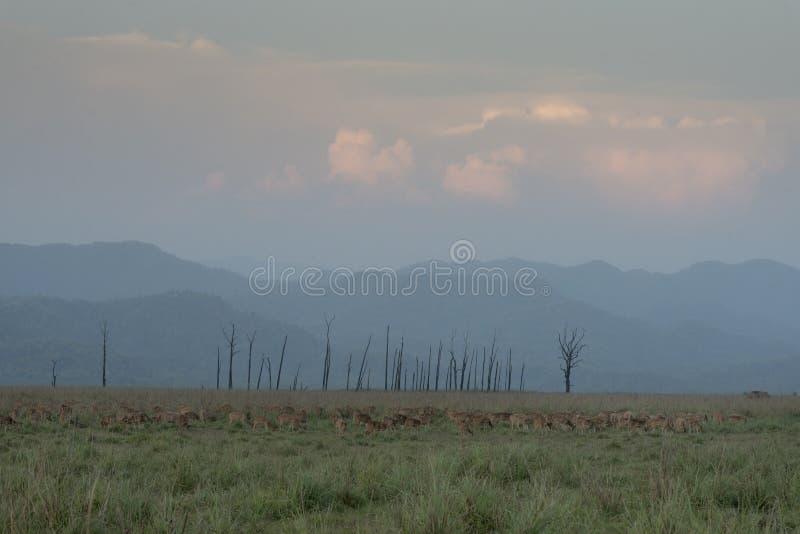 被察觉的鹿组装在dhikala草原 库存图片