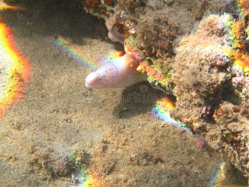 被察觉的黑色海鳗 免版税图库摄影