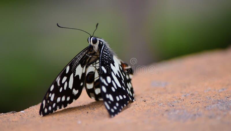 被察觉的蝴蝶 库存图片