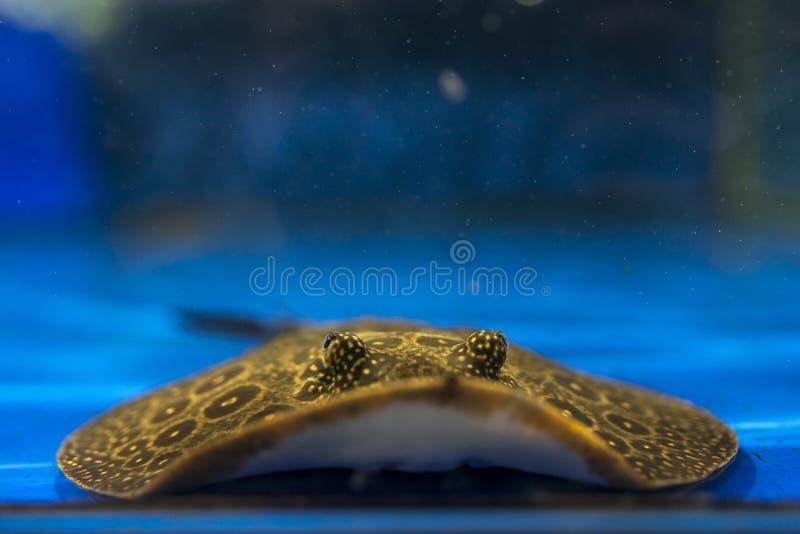 被察觉的黄貂鱼 图库摄影