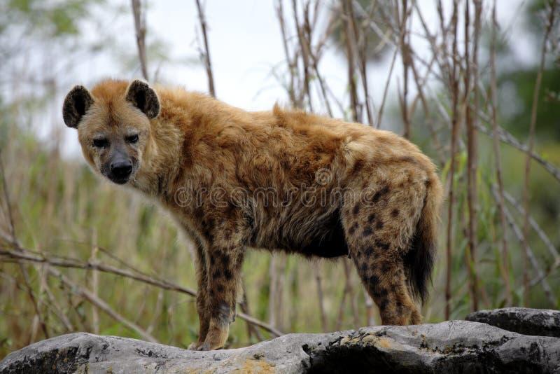 被察觉的amboseli鬣狗肯尼亚国家公园 免版税库存图片