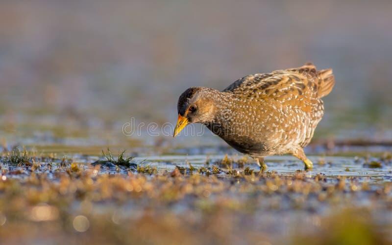 被察觉的Crake - Porzana porzana -成人鸟 免版税库存照片