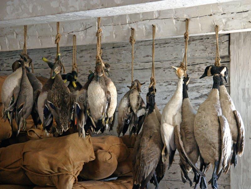 被寻找的加拿大鹅 免版税库存图片
