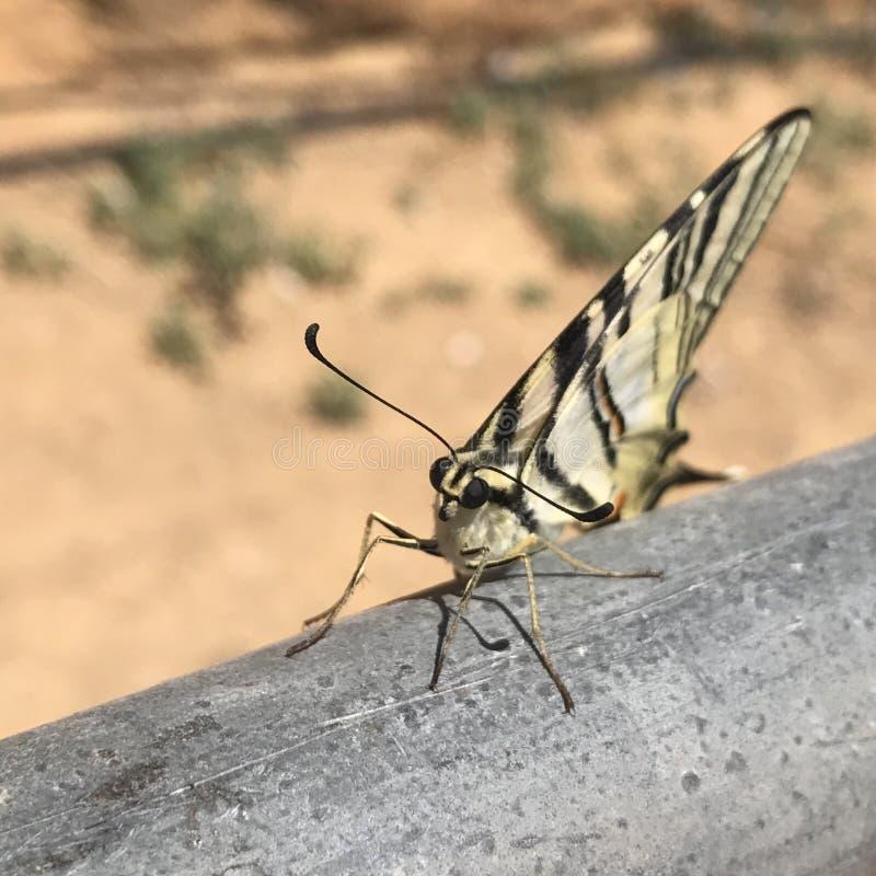 被射击的蝴蝶画象-西西里岛 图库摄影