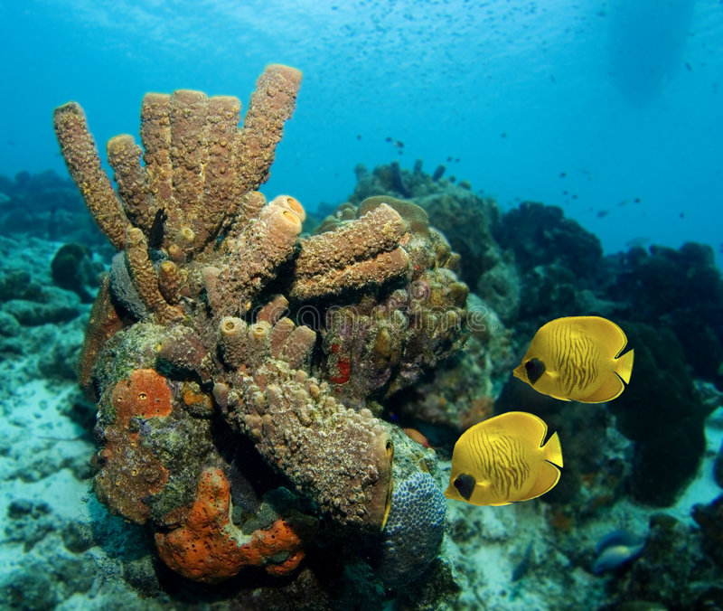被屏蔽的蝴蝶加勒比夫妇鱼 库存图片