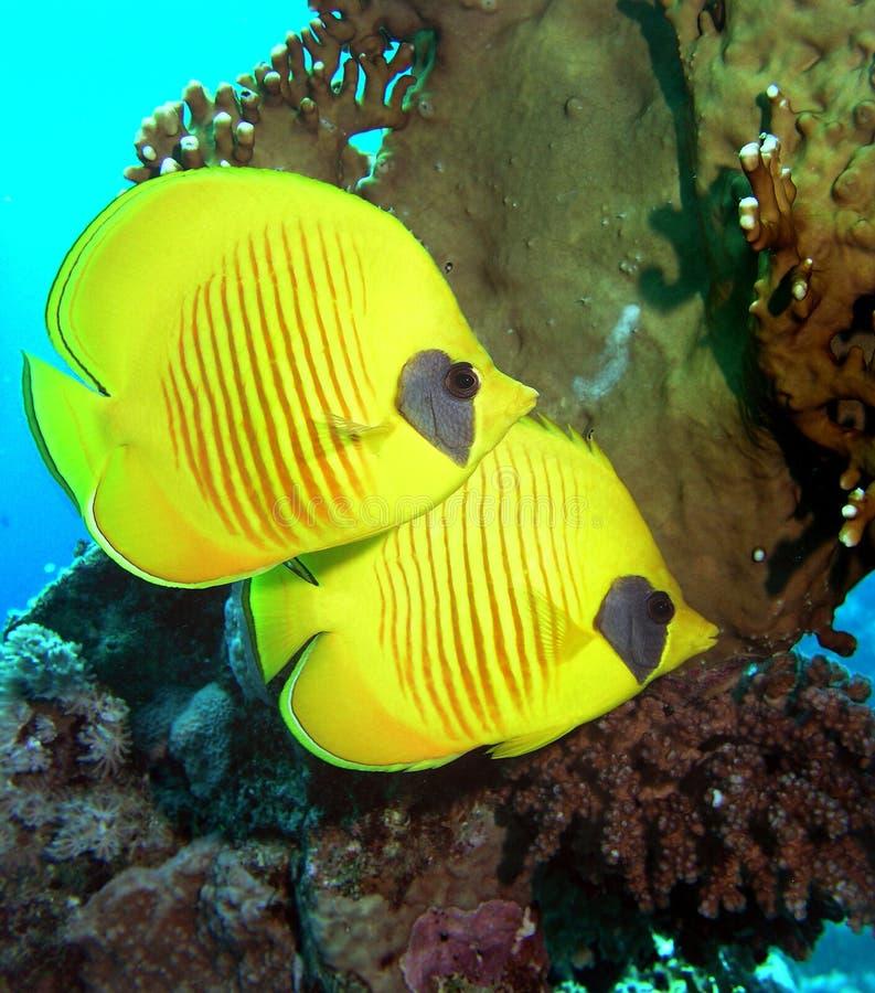 被屏蔽的蝴蝶鱼 免版税图库摄影