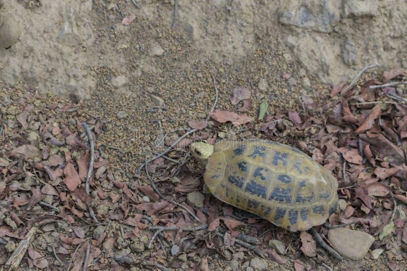 被延长的草龟Indotestudo elongata或黄色草龟,一个罕见的濒于灭绝的物种发现了狂放在吉姆科比特国立公园 免版税库存图片