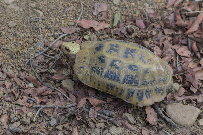 被延长的草龟Indotestudo elongata或黄色草龟,一个罕见的濒于灭绝的物种发现了狂放在吉姆科比特国立公园 免版税库存照片