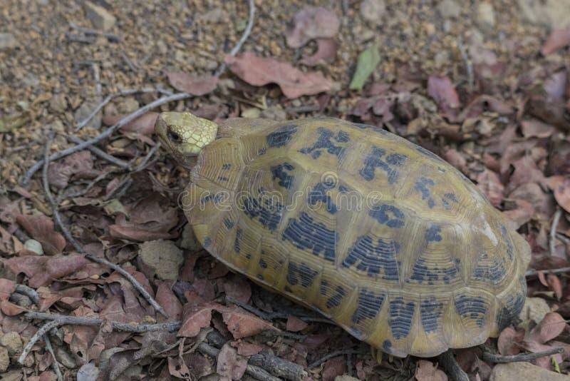 被延长的草龟Indotestudo elongata或黄色草龟,一个罕见的濒于灭绝的物种发现了狂放在吉姆科比特国立公园 库存照片