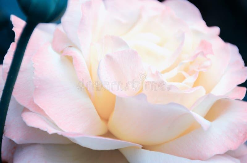 被弄脏的图象-桃红色玫瑰花,柔和的瓣紧密  免版税库存照片