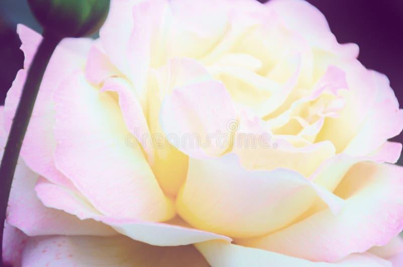 被弄脏的图象-桃红色玫瑰花,柔和的瓣紧密  免版税图库摄影