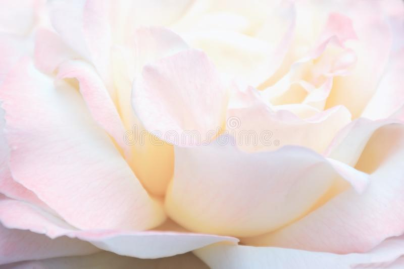 被弄脏的图象-桃红色玫瑰花,花卉背景 免版税库存照片