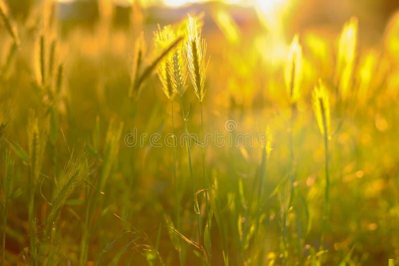 被弄脏的夏天背景 领域草和耳朵在金黄阳光下在日落 免版税库存照片