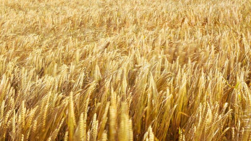 被弄脏的大麦领域 库存照片