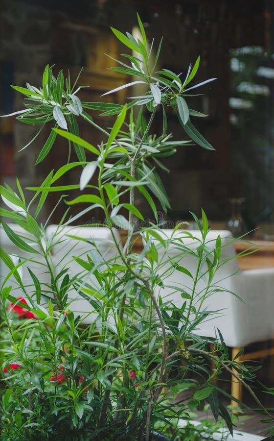 被弄脏的室背景的鲜绿色的植物 在一个白色沙发旁边的新鲜的高室内植物 复制空间 免版税库存照片