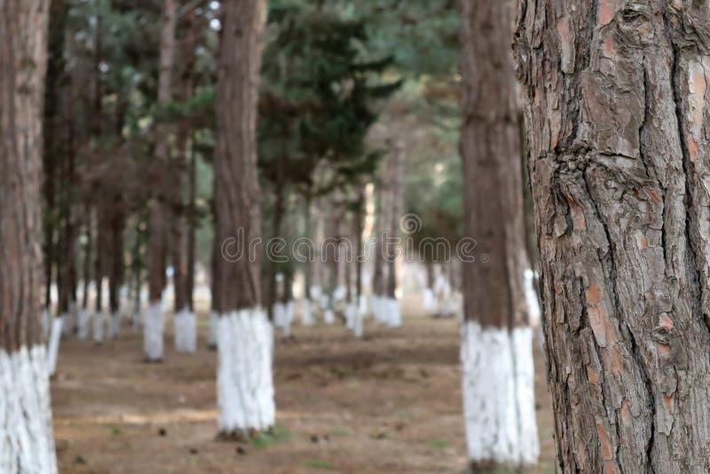 被弄脏的背景 松树特写镜头  免版税库存照片