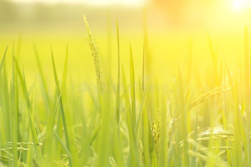 被弄脏的背景;绿色米领域被弄脏的背景与 库存图片
