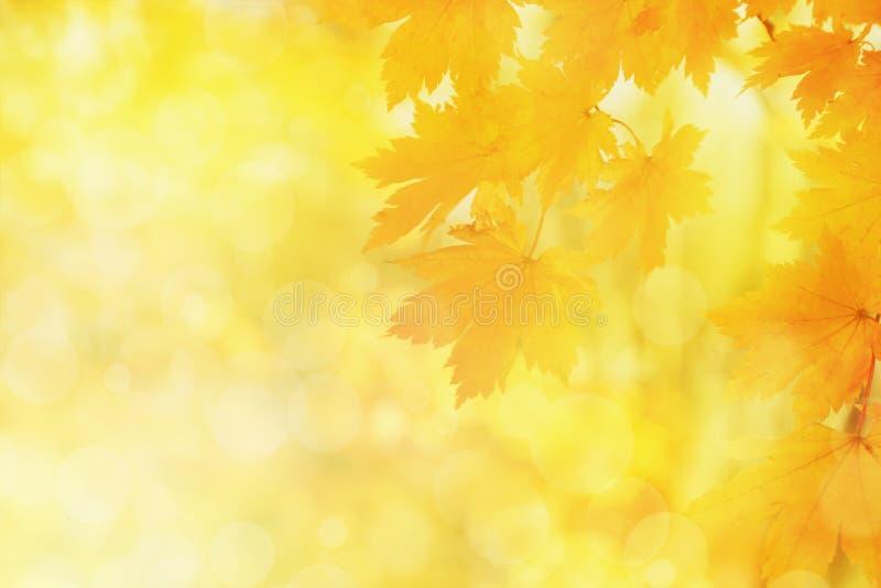 被弄脏的自然秋天背景,黄色枫叶 图库摄影