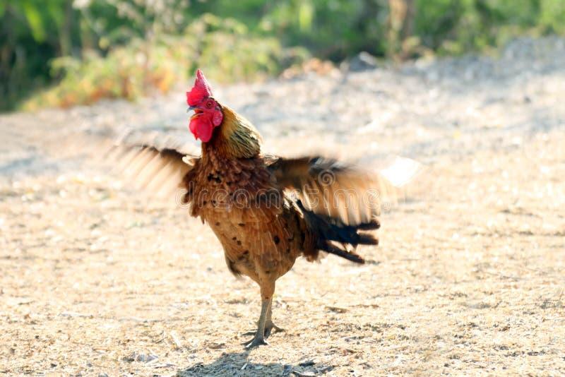 被弄脏的雄鸡公鸡翼振翼,行动雄鸡公鸡鸡翼挡水板振翼迷离 库存照片