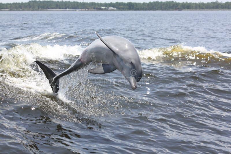 被引导的瓶海豚 库存图片
