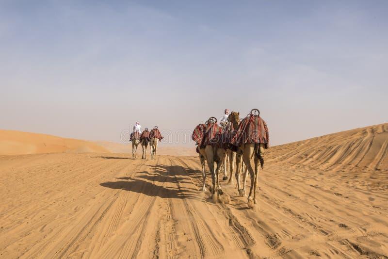 被引导的骆驼 库存图片