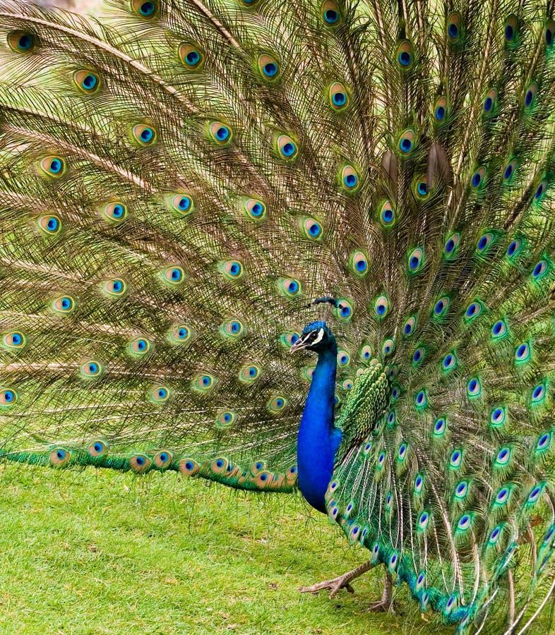 被扇动的羽毛孔雀 库存图片