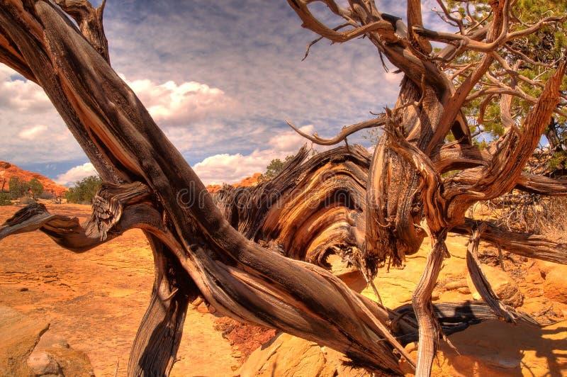 被扭转的杜松结构树 免版税库存图片