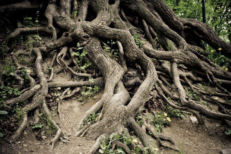 被扭转的老根结构树 图库摄影