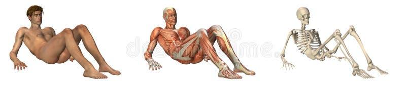被扶植的解剖手肘重叠  向量例证