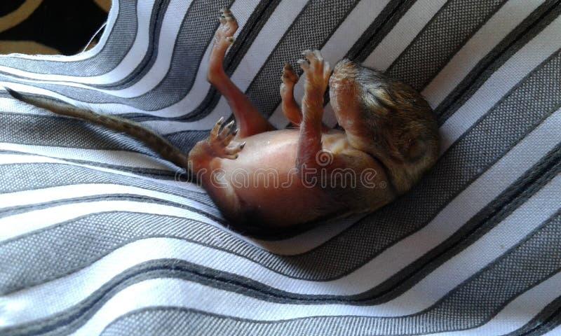 被抢救的小灰鼠 免版税库存图片