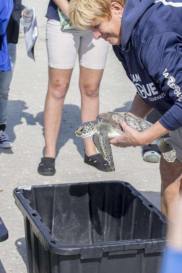 被抢救的绿浪乌龟为发行整理了 免版税库存图片