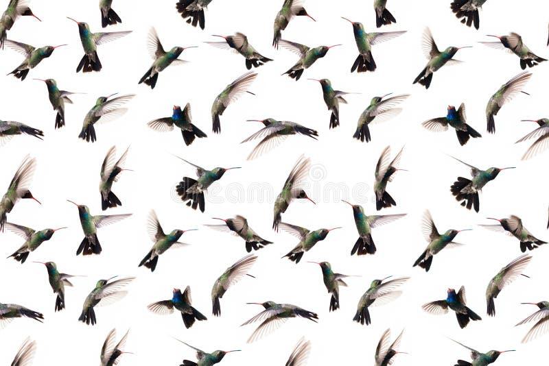 在飞行中在白色背景拍摄的蜂鸟 不断地将被重复的无缝的图象