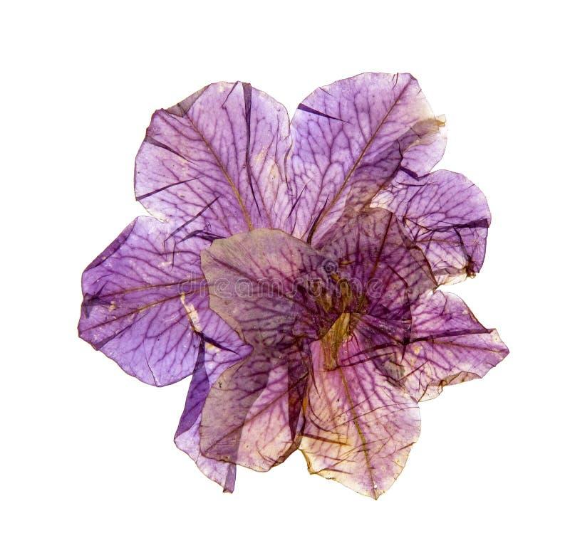 被按的五颜六色的喇叭花的应用 图库摄影