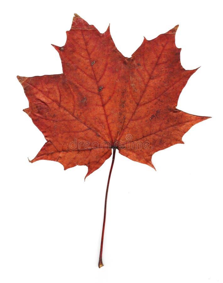 被按的叶子槭树 免版税图库摄影
