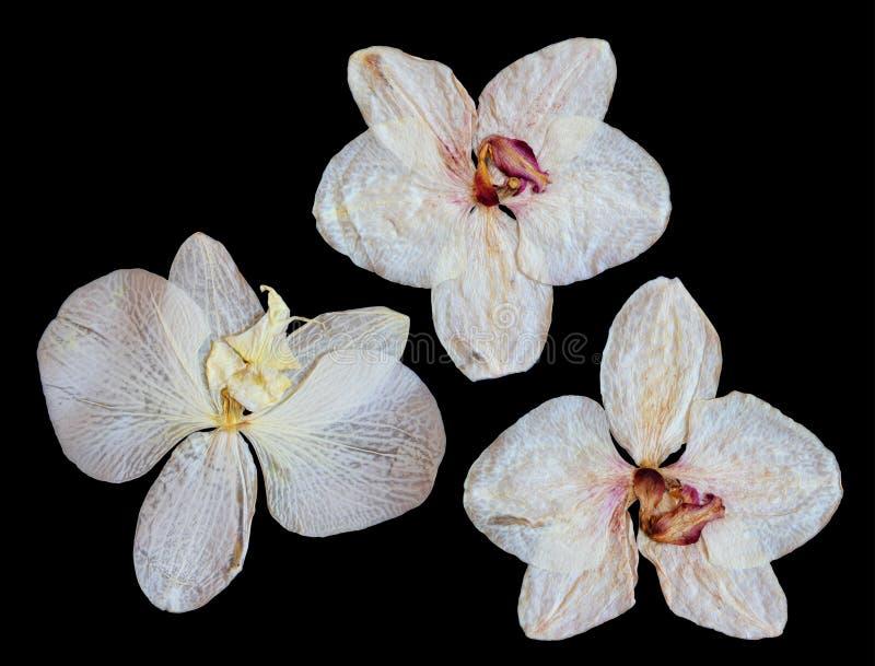 被按的和干白色珊瑚花兰花隔绝了元素o 免版税库存图片